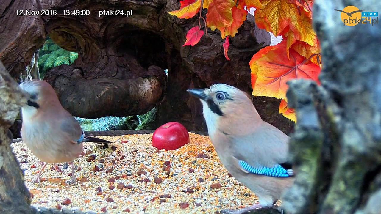 Sójki w karmniku dla ptaków w starym pniu wiązu