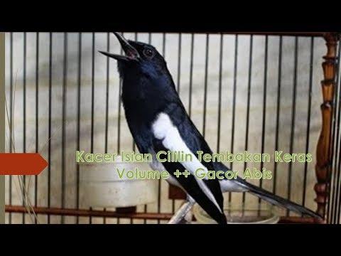 Kacer Isian Cililin Tembakan Keras Volume ++ Gacor Abis