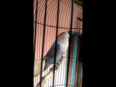 Love bird # JAHANAM # ngekek 55 detik