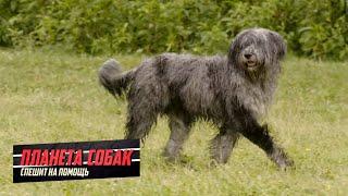 Планета собак спешит на помощь  Бергамская овчарка