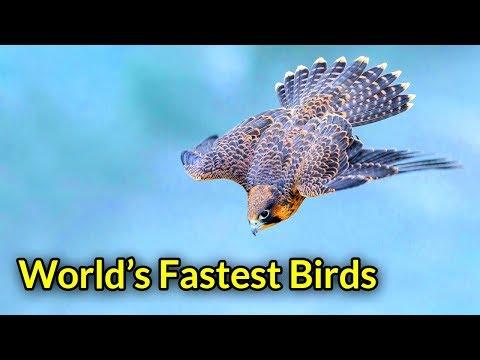 দ্রুতগামী ১০ পাখি | Top 10 Fastest Birds In The World | Fastest Flying Bird | FASTEST ANIMALS