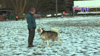 Alaskan Malamute: Informationen zur Rasse