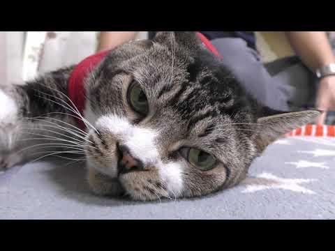 凄く嫌な予感がする猫リキちゃん☆お出かけ準備・キャリーバッグ詰め攻略できたと思いきや・・・【リキちゃんねる 猫動画】Cat video キジトラ猫との暮らし
