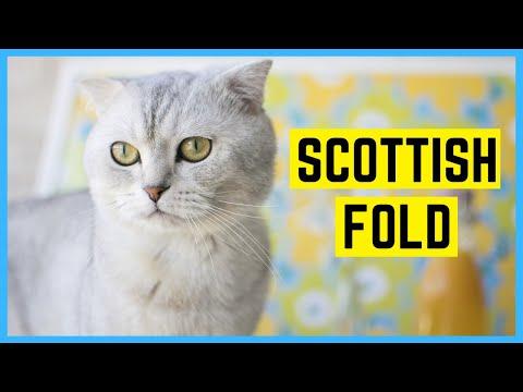 SCOTTISH FOLD KATZE - Rasseportrait der schottischen Faltohrkatze
