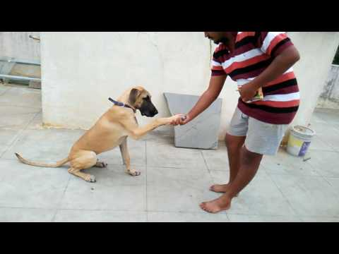 Indian great dane Manoj training