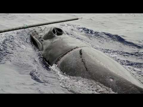 Humpback Whale Disentanglement Rescue In Hawaii
