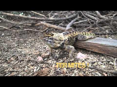 Wild Desert Spiny Lizard Cruz Molting