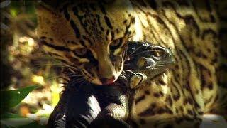 Ocelot kills an Iguana - Ocelote mata una iguana