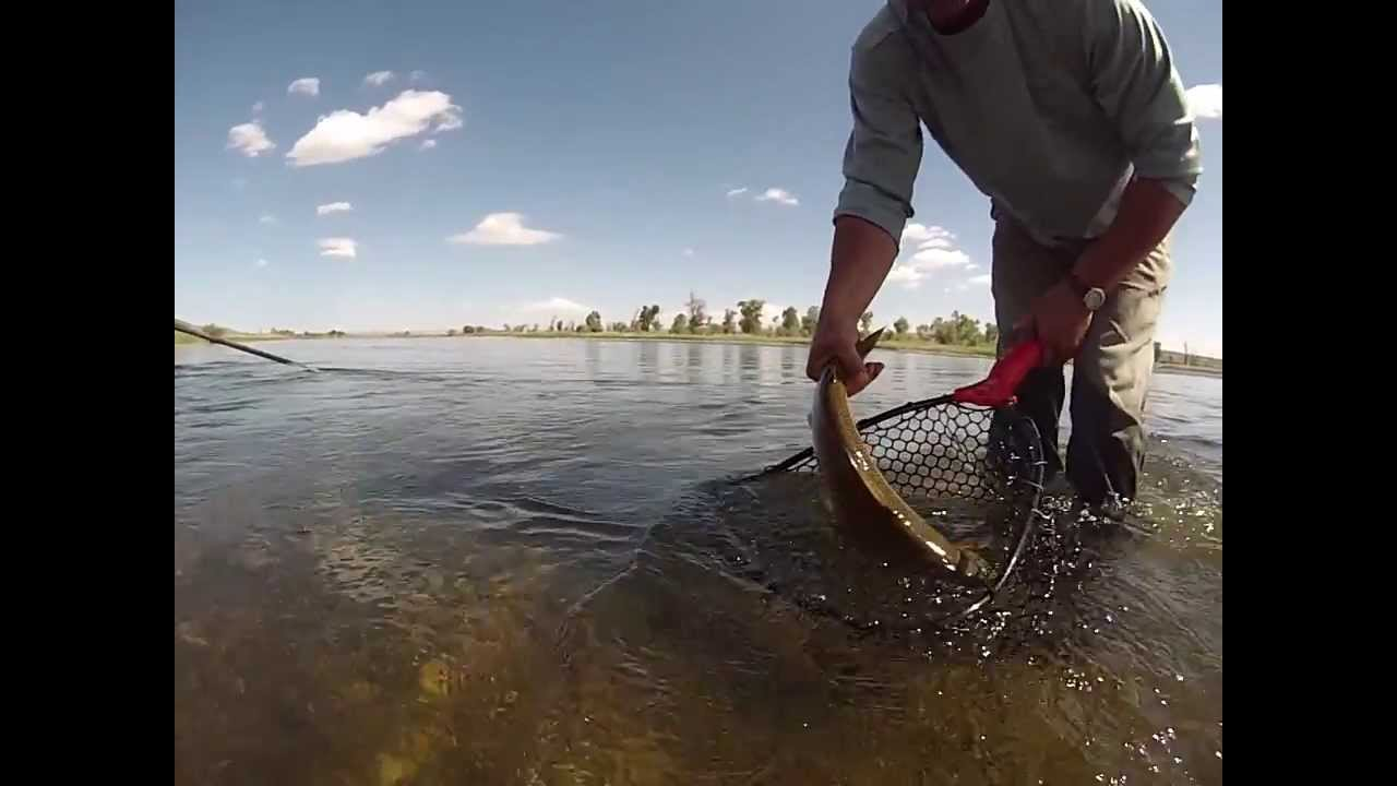 Big brown trout being released grey reef anglers casper for Casper wyoming fly fishing