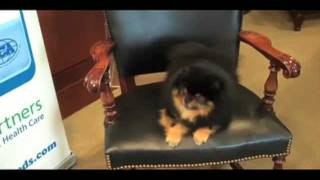 Akc Meet The Breeds: Lennon The Diva Pomeranian
