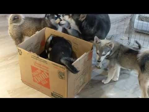 Funny box playing Klee Kai puppies