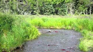 Alaska Salmon Runs.AVI
