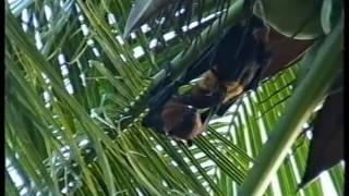 Мальдивы  Летучие собаки