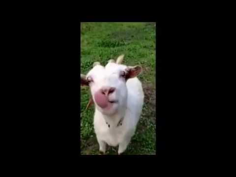 смешные видео козла транслате