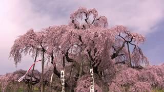 JG☆☆☆☆ 福島 三春滝桜(天然記念物) Fukushima,MIharu Takizakura(Natural Monument)