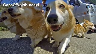 Goro & Corgis Are Walking / おさんぽコーギーズ 20150313 Goro@welsh Corgi コーギー Dog