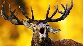 Red Deer. Roar. Fight. Благородный олень. Рёв. Драка.