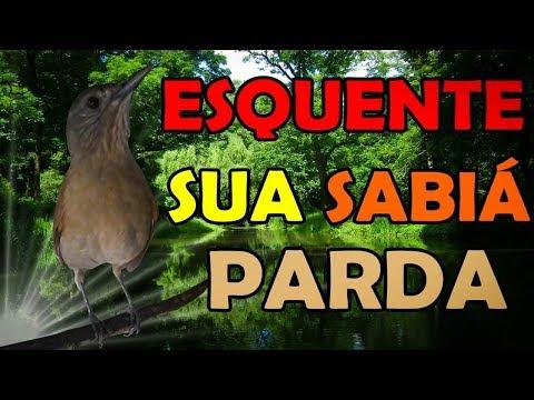 SABIÁ PARDA FÊMEA MACHIANDO PEDINDO GALA PARA ESQUENTAR MACHOS