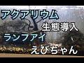 水槽にランプアイとえびちゃんダイブ の動画、YouTube動画。