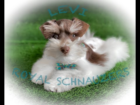 Royal Schnauzers Levi Enjoying The COVID-19 Quarantine!