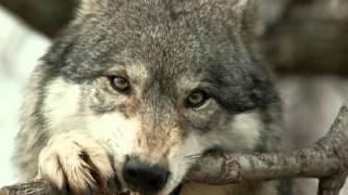Серый волк!mp4