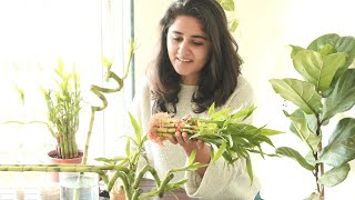 How to Care for Lucky Bamboo & Secret to Propagate Easily