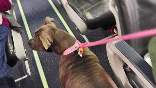 taking-my-pitbull-on-a-7-hour-flight