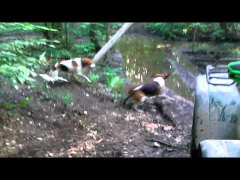 Hunting Dogs Vs Raccoon.