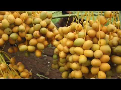 Vidarbha farmer's date with success
