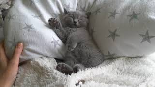 British Shorthair. What do you think about such a sweetie? - Juno, blue boy*cattery Calmcat British