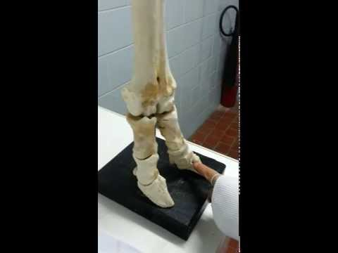 Metacarpal Bones anatomy - Ruminant - Veterinary