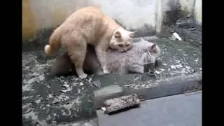 кошки спаривания и оплодотворение