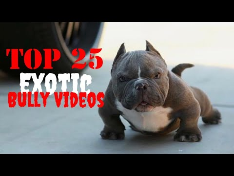 😱 Top 25 😱 Best of Exotic American Bully Videos Vol.4