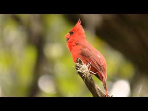 Digiscoped male Northern Cardinal Singing.