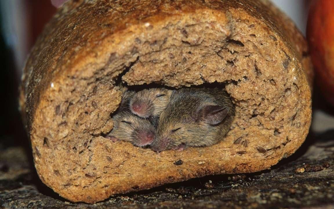 мыши и крысы фото