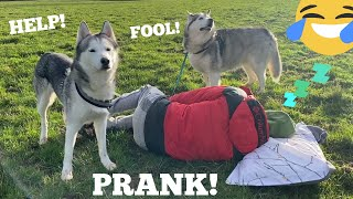 Huskies Hilarious Reaction To Me Falling Asleep In The Strangest Places! [PRANK!] [WITH CAPTIONS!]