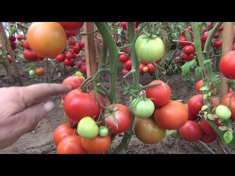Обзор томатов для открытого грунта (отрывок)