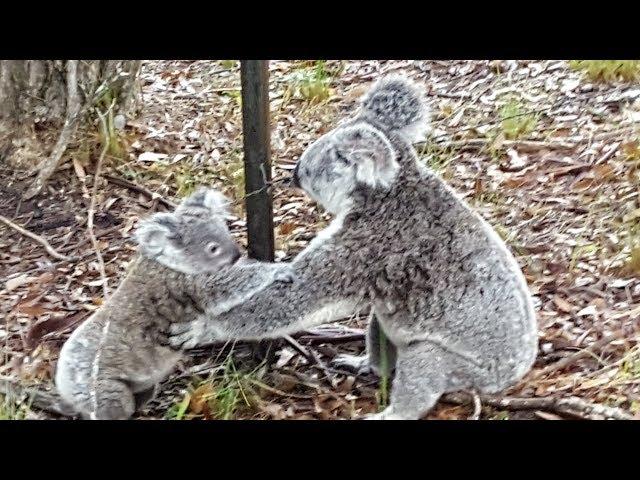 Este es el rescate de una mamá koala a su bebé atrapado en una alambrada