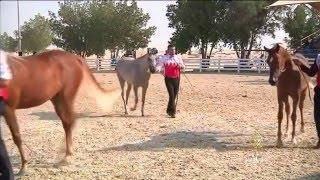 فيديو: مهرجان للخيول العربية الأصيلة في البحرين