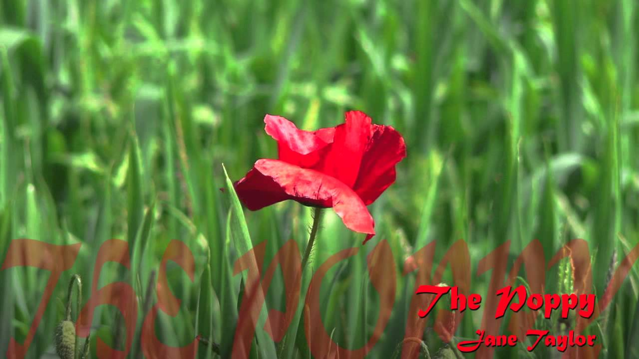 The poppy a poem written by jane taylor youtube the poppy a poem written by jane taylor mightylinksfo