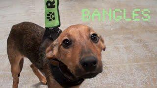 Bangles- Terrier/dachshund Mix
