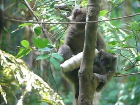 Greater bamboo lemur mother and baby feeding on giant bamboo shoot