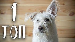 ТОП-1 Лучшая порода собак в мире