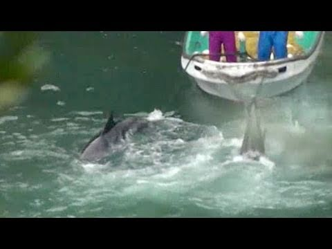Dolphins herded to the Cove and slaughtered on November 13th