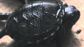 Малыш болотной черепахи