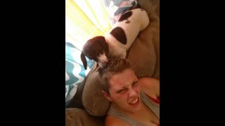 Crazy Dachshund Grooming His Human
