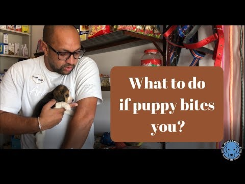 what-to-do-if-puppy-bites-you?---bhola-shola