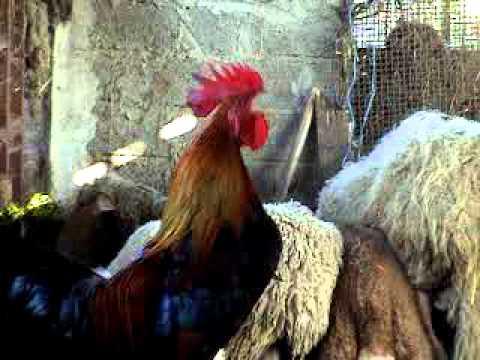 gallo che canta