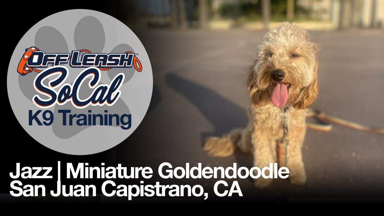 Jazz | Miniature Goldendoodle | San Juan Capistrano, CA