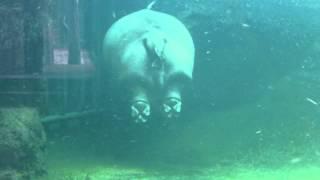 天王寺動物園のカバ。 水中でプカプカと浮かんだり沈んだりして過ごして...